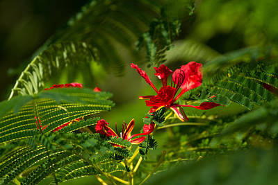 Photograph - Poinciana Tree Blossom by Roger Mullenhour