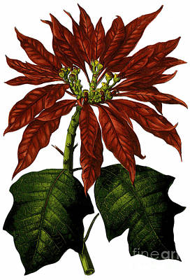 Mixed Media - Poinsettia A Traditional Christmas Plant Vintage Poster by R Muirhead Art
