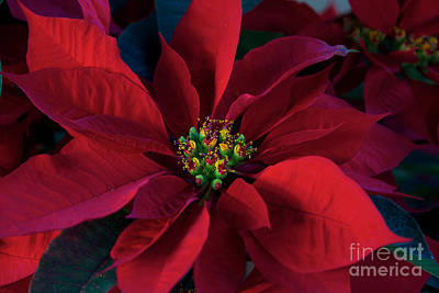 Poinsettia All Profits Go To Hospice Of The Calumet Area Art Print