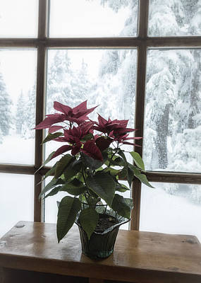 Photograph - Poinsettia At Timberline Lodge by Belinda Greb