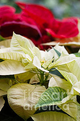 Photograph - Poinsettia by Carolina Mendez