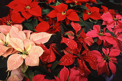Photograph - Poinsettia Christmas Holiday Flowers  by Tracey Harrington-Simpson