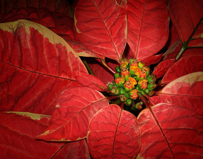 Photograph - Poinsettia II by David and Carol Kelly