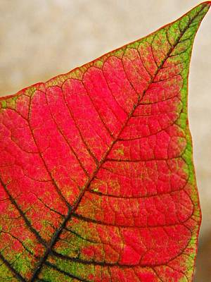 Photograph - Poinsettia Leaf  by Chris Berry