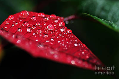 Poinsettia Leaf With Water Droplets Art Print by Kaye Menner