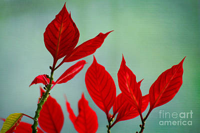 Photograph - Poinsettia Petals by Karen Adams