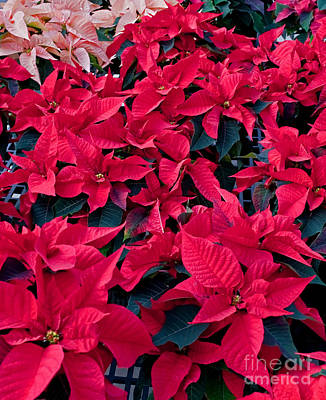 Photograph - Poinsettia Plants With Black Leaves by Valerie Garner