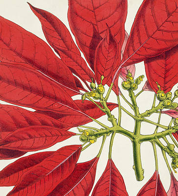 Poinsettia Pulcherrima Art Print by WG Smith
