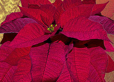 Photograph - Poinsettia The Christmas Flower by Michele Avanti
