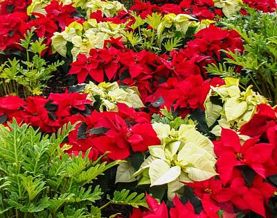 Poinsettia Photograph - Poinsettia by Zina Stromberg
