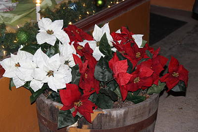 Photograph - Poinsettias by Edward Hamilton