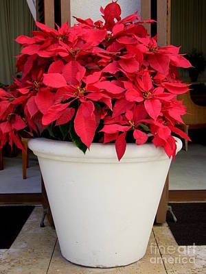 Photograph - Poinsettias In A Planter by Mary Deal
