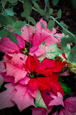 Poinsettias In Maturation Art Print by Gene Sherrill