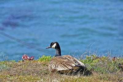 Photograph - Point Lobos Duck by SC Heffner