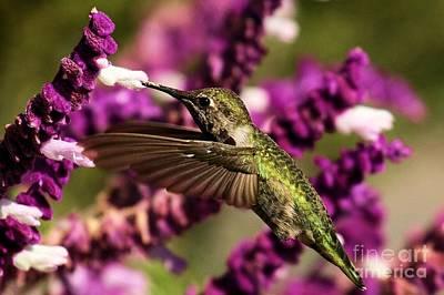 Point Reyes National Seashore Photograph - Point Reyes Hummingbird by Adam Jewell