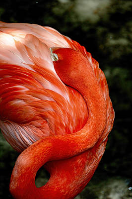 Photograph - Poised Flamingo by Donna Proctor