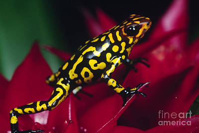 Frogs Photograph - Poison Arrow Frog by Art Wolfe