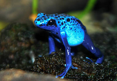 Poison Blue Dart Frog Art Print by Optical Playground By MP Ray
