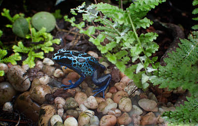 Poison Dart Frog Art Print by Carol Ailles