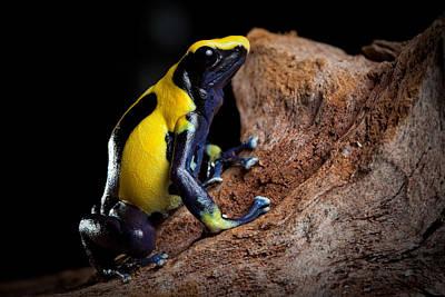 Poison Dart Frog Original by Dirk Ercken
