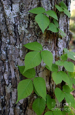 Poison Ivy Photograph - Poison Ivy by Susan Leavines Harris