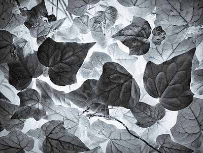 Photograph - Ivy League by Wayne Sherriff