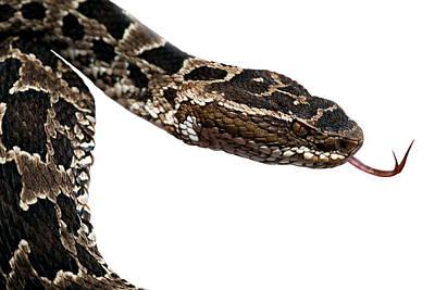 Poisonous Snake Original by Dirk Ercken