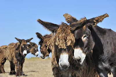Ile Saint-martin Photograph - Poitou Donkey 3 by Arterra Picture Library