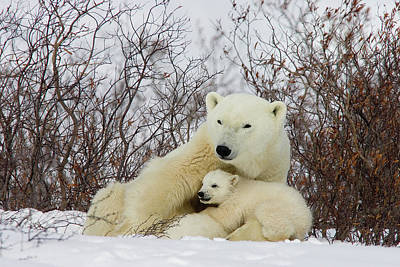 Photograph - Polar Bear And 3 Month Old Cubs by Matthias Breiter