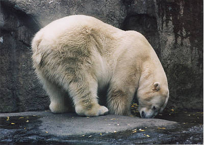 Photograph - Polar Bear At Zoo by Myrna Walsh