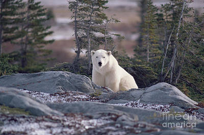 Photograph - Polar Bear by Bryan and Cherry Alexander