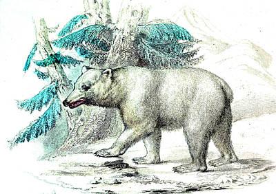 1859 Photograph - Polar Bear by Collection Abecasis