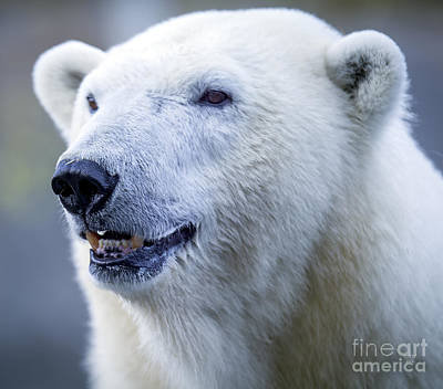 Photograph - Polar Bear by David Millenheft