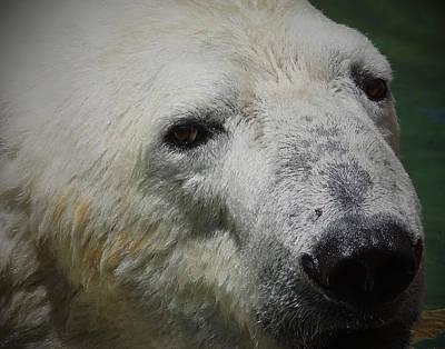 Photograph - Polar Bear by Ernie Echols