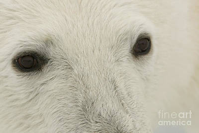 Photograph - Polar Bear Eyes by John Shaw