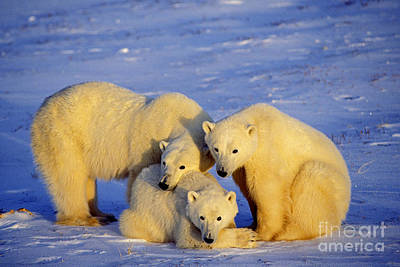 Photograph - Polar Bear Family by Thomas and Pat Leeson