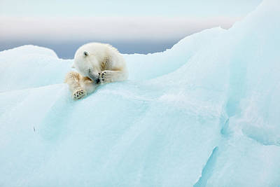 Iceberg Photograph - Polar Bear Grooming by Joan Gil Raga