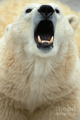 Polar Bear Growling Art Print