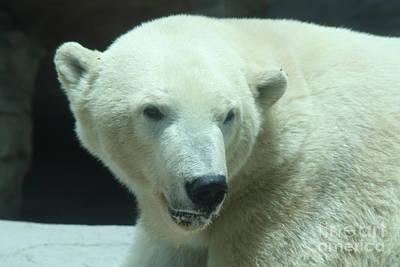 Polar Bear Head Shot Art Print by John Telfer