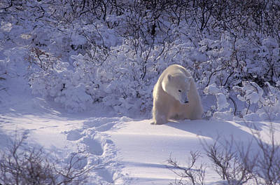 Photograph - Polar Bear In New Snow by Randy Green