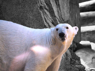 Photograph - Polar Bear by Jai Johnson