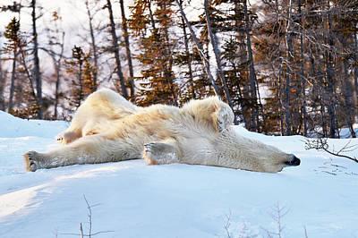 Born March 1 Photograph - Polar Bear Mother by Dr P. Marazzi