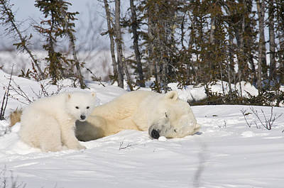 Photograph - Polar Bear Mother Sleeps As Her Cub Looks Around by Richard Berry