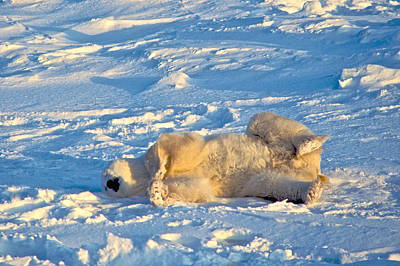Photograph - Polar Bear Nap by Randy Green