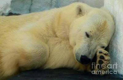 Photograph - Polar Bear Nap by Susan Garren