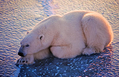 Photograph - Polar Bear On Hudson Bay Ice by Randy Green