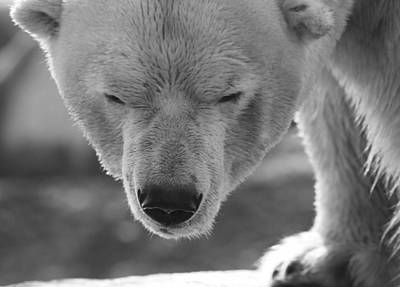 Photograph - Polar Bear Portrait Black And White by Dan Sproul