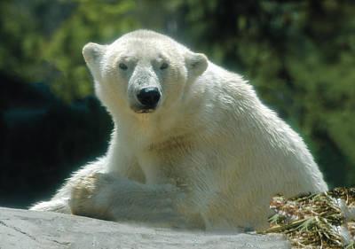 Photograph - Polar Bear Portrait by William Bitman