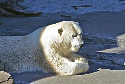 Photograph - Polar Bear by SC Heffner