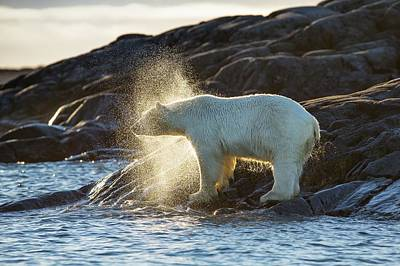 Polar Bear Shaking Water Off Art Print by Peter J. Raymond